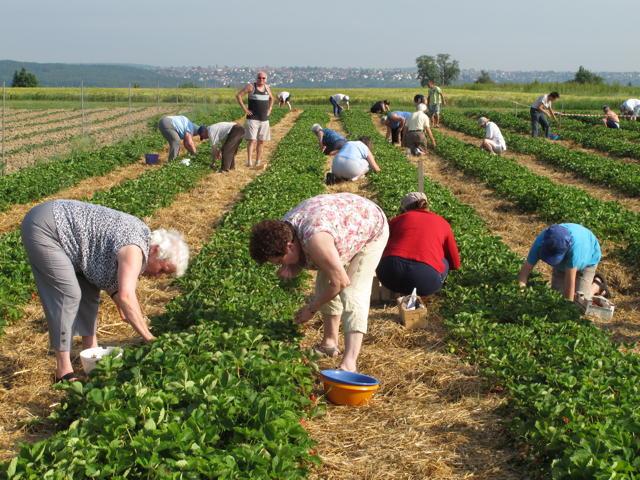 Erdbeeren selbst zu pflücken ist harte Arbeit in der Sonne, aber es lohnt sich. Foto: Zenke