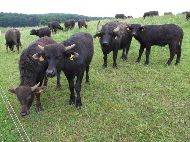 Eine tierische Begegnung der urigen Art: Schwäbische Albbüffel auf der Weide. Foto: Zenke